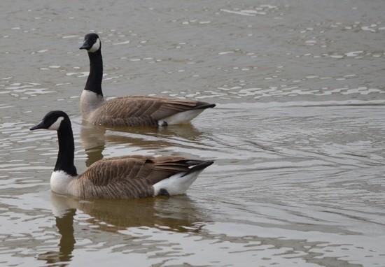 Canada Goose' fake irs