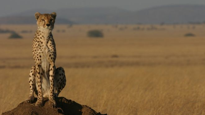 Cheetah 'more vulnerable to extinction than previously thought'