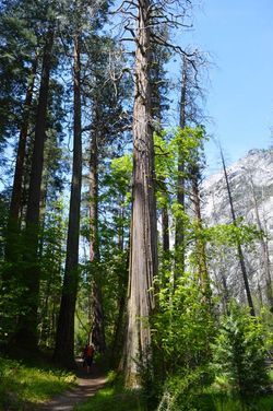 young Giant Sequoia trees