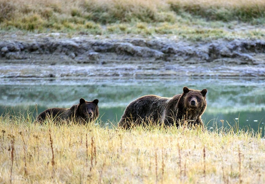 Climate change forces grizzlies to hunt for food elsewhere—and die in higher and higher numbers