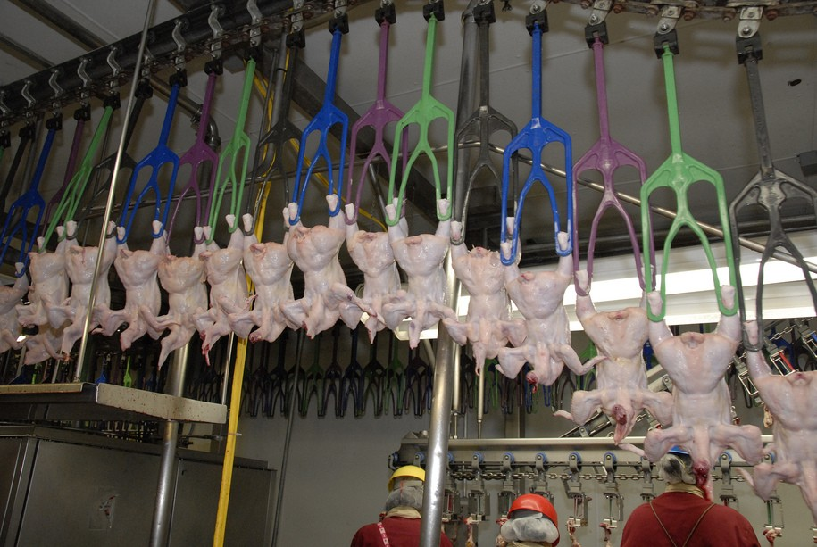 Chickens are carried through the Holmes poultry slaughterhouse in Nixon, Texas on June 10, 2008 on mechanical arms. U.S. Department of Agriculture (USDA) Food Safety and Inspection Service (FSIS) inspectors are on site to ensure the chicken is processed in accordance with USDA FSIS regulations. USDA photo by Alice Welch.