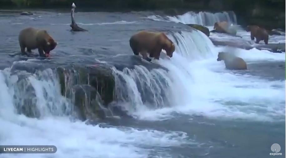 Good news! The live bear cams are back at Katmai National Park