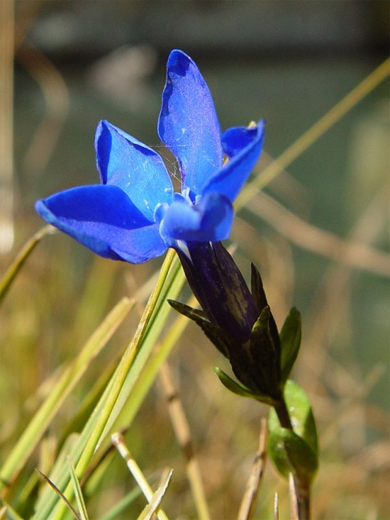 symbolic significance of bavarian gentians
