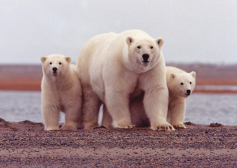As experts again warn of harm to Arctic wildlife, Interior Department again pushes ANWR oil mapping