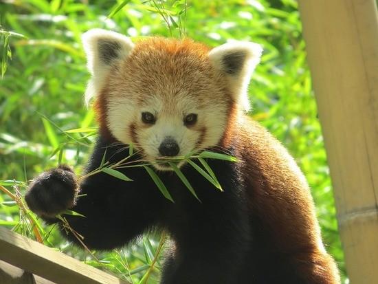 panda__bamboo.jpg