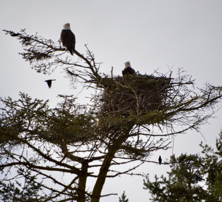 The Daily Bucket - eagle pair update