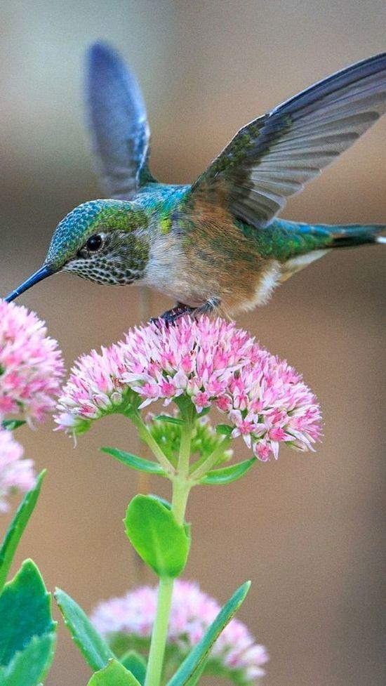 Hummingbird_P.jpg