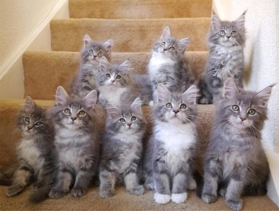 9 Maine Coon kittens sitting on stairs