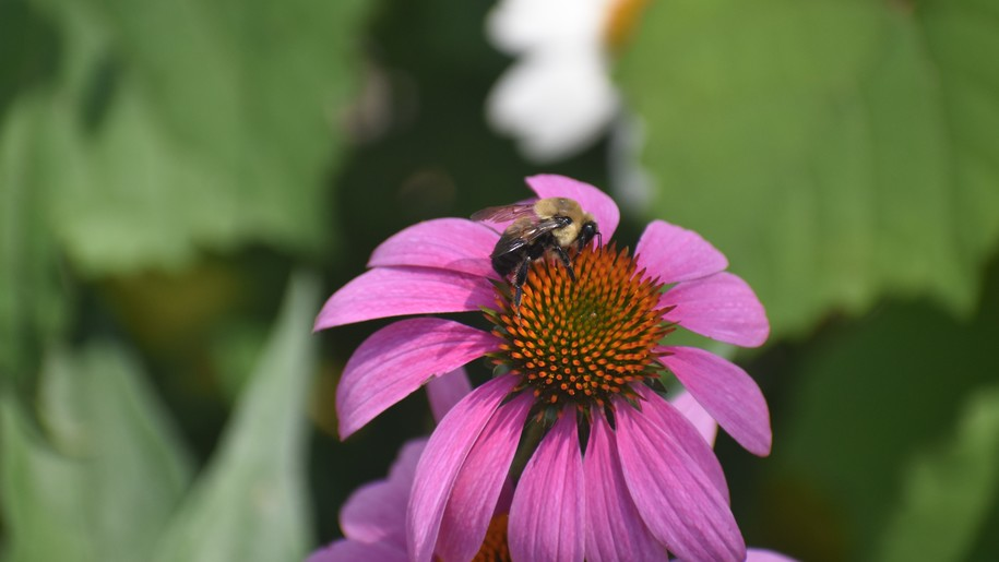 EPA issued 'emergency' approval to spray 16 million acres with bee-killing pesticide