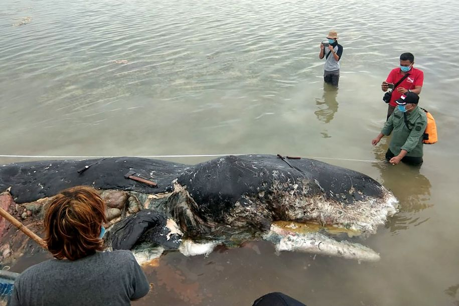 Two whales wash up dead with more than a hundred pounds of plastic in their stomachs