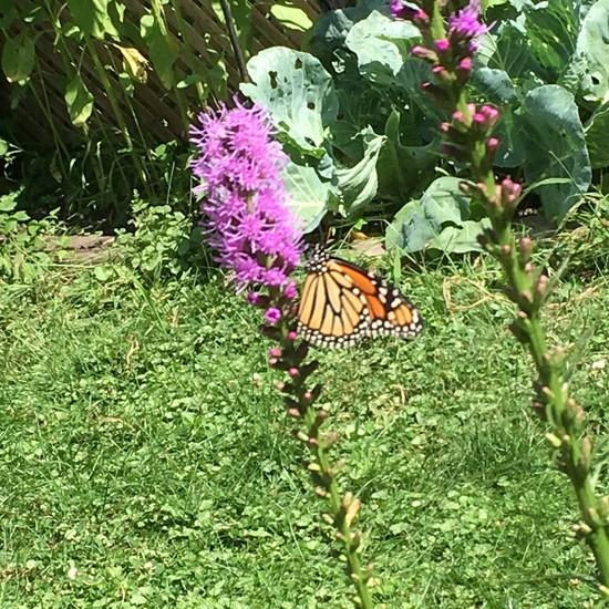 Saay Morning Garden Blogging Vol 15.19 Endangered ... on