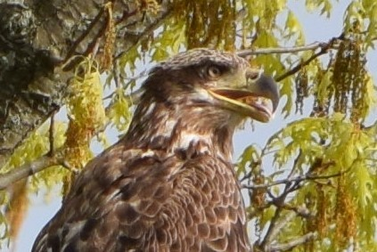 Natural Weekends – Immature Bald Eagle And Osprey