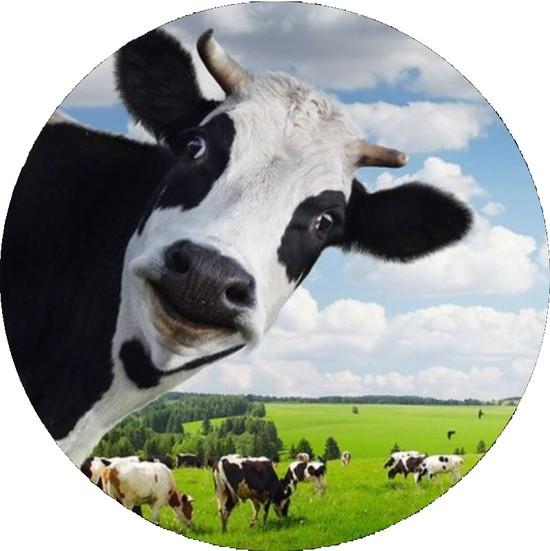 devin-cow.jpg