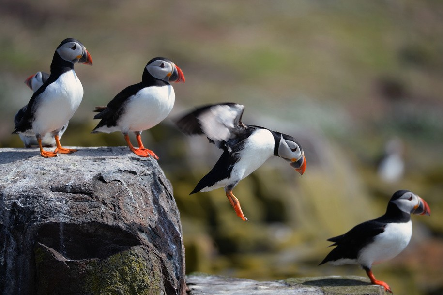 Mass die-offs of millions of Puffins linked to warming waters and changing ecosystems
