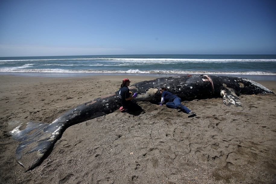 So many gray whales are washing up along our coasts the government is asking private owners for help