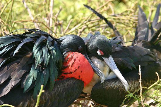 Great frigatebird (Fregata minor) breeding pair, Genovesa Island (El Barranco), Galapagos Islands.