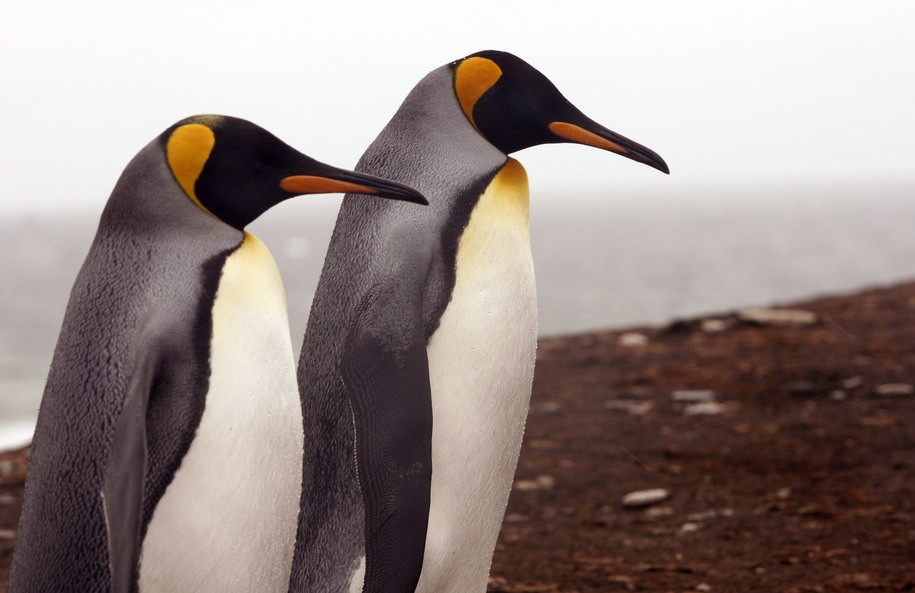Gay penguin couple at Zoo Berlin have adopted an egg and hopes are high they will become parents