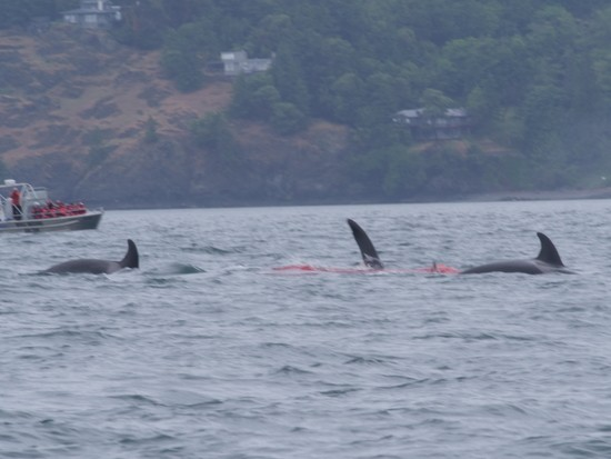 Transient orcas kill a Dall