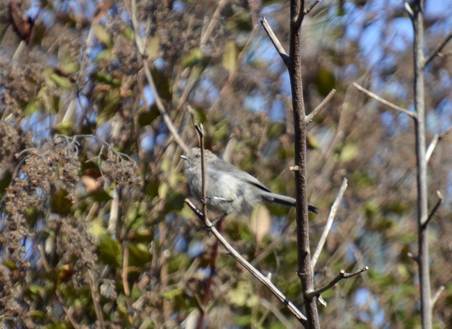 The Daily Bucket - flighty foragers in the oceanspray thicket