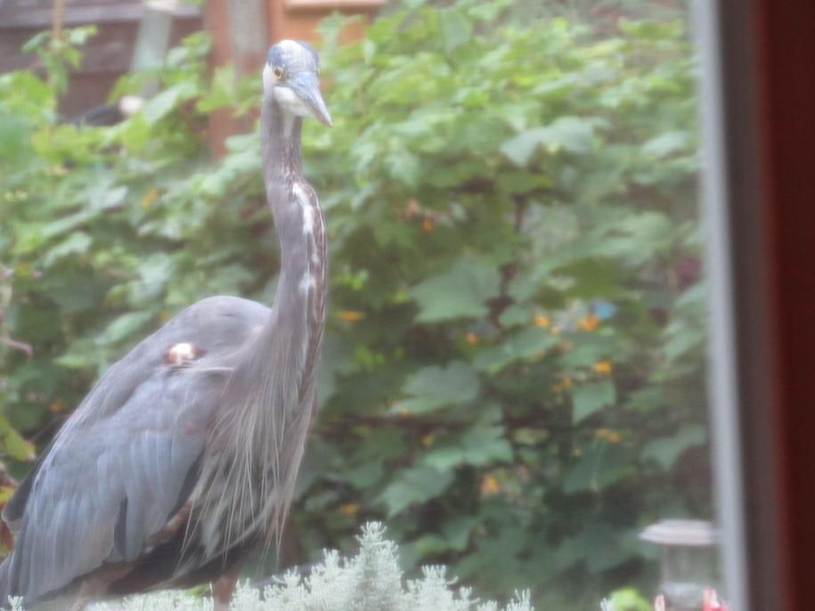 The Daily Heron Bucket