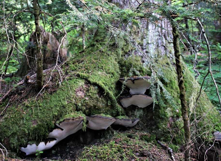 The Daily Bucket: Cavorting Among Ancient Trees in an Old Growth Forest