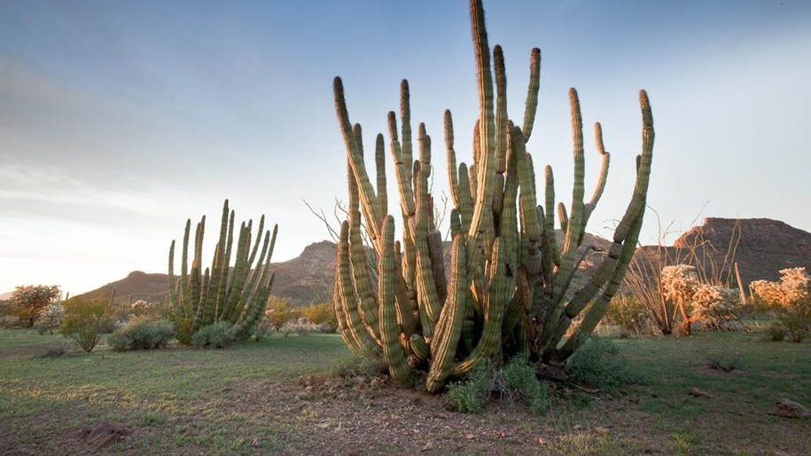 Towering cactus at Organ Pipe Cactus National Monument