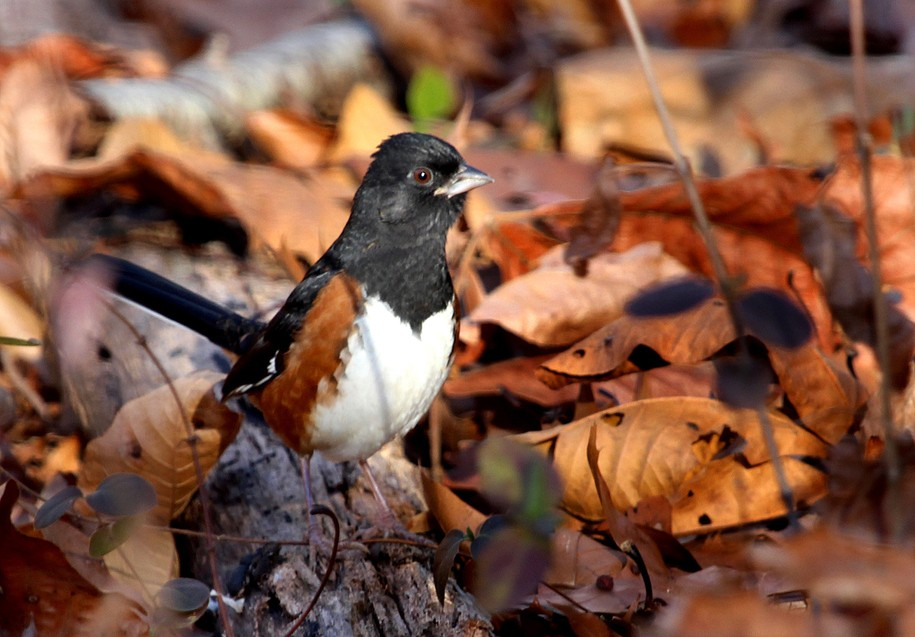 Dawn Chorus: Leave the Fall Leaves for Birds & Bugs