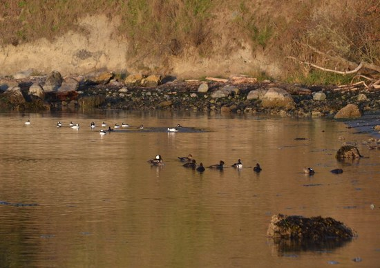 Hooded Meganser ducks