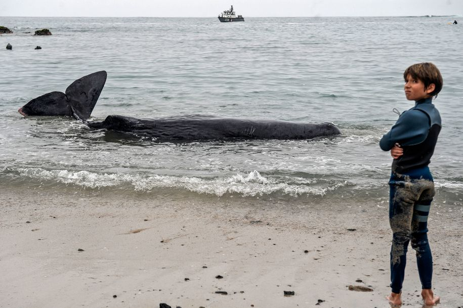 Young sperm whale who beached himself had huge 220 pound 'ball of debris' in stomach