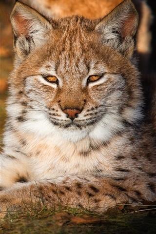 Lynx-rest-sunshine_iphone_320x480.jpg