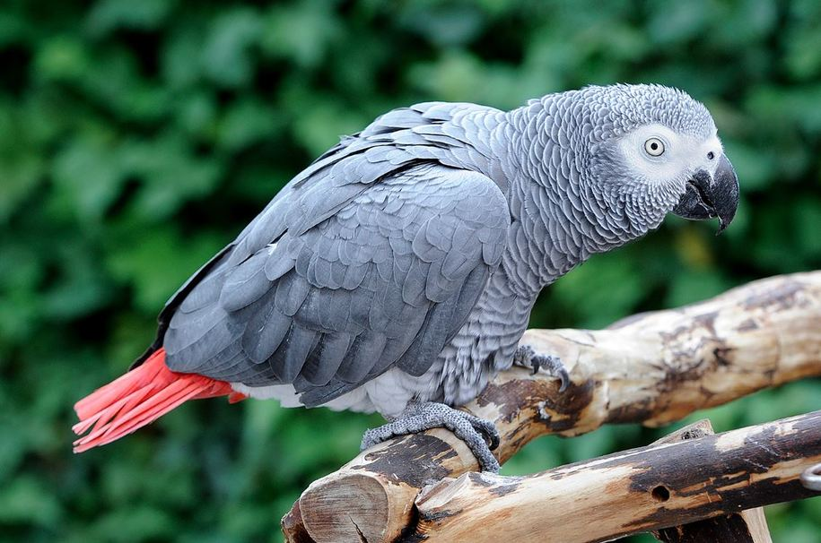 African gray parrots voluntarily show kindness to others