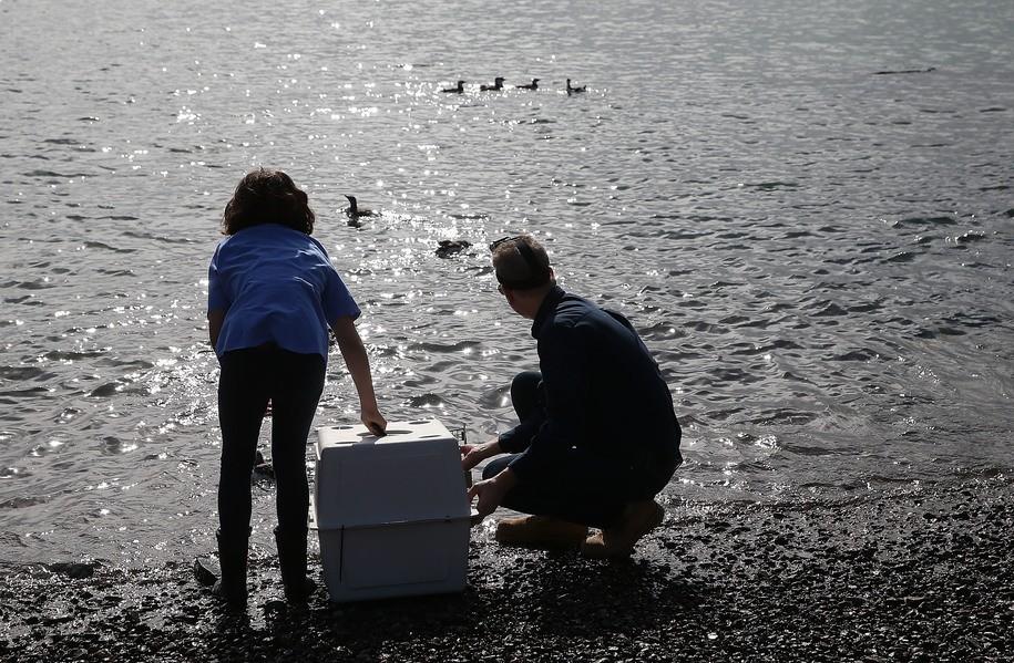 Oceanic 2014-2016 heatwave killed an estimated 1 million sea birds: 'unprecedented and astounding'