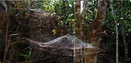 Spider webs dominate Guam forests