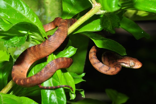 The brown tree snake
