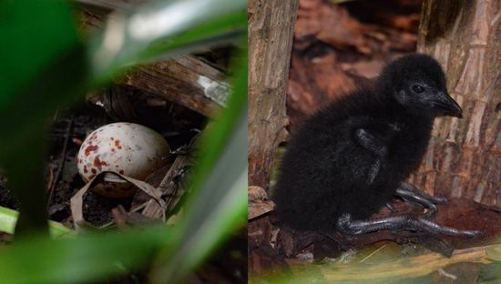Chicks and eggs of the ko