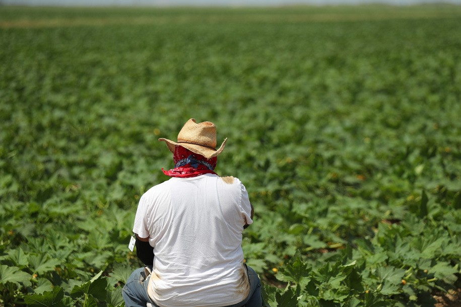 "FLORIDA CITY, FLORIDA - APRIL 01: A farm worker prepares to harvest squash on the Sam Accursio & Son's Farm on April 01, 2020 in Florida City, Florida. Sergio Martinez, a harvest crew supervisor, said that the coronavirus pandemic has caused them ""to have to throw crops away due to less demand for produce in stores and restaurants. The farm workers who are essential to providing food for homebound families are worried that if the restaurants stay closed and peoples changed grocery store habits continue they would be out of work with no work for the near future."" (Photo by Joe Raedle/Getty Images)"