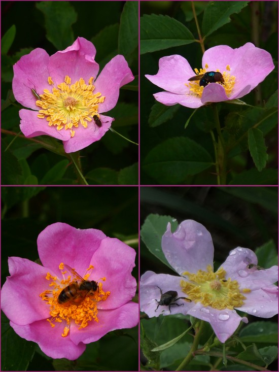 Wild Prairie Roses with bees and other insects on them