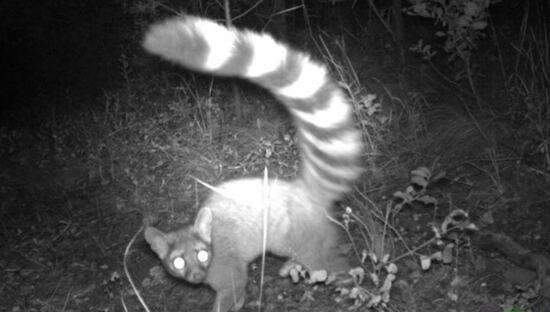 Ring-tailed cat (Bassariscus astutus)