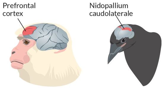 The NCL, as compared to the prefrontal cortex of a primate