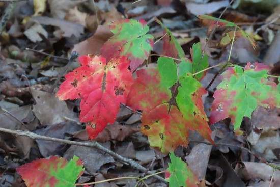 Sugar Maple leaves growing close to the ground on a small sapling