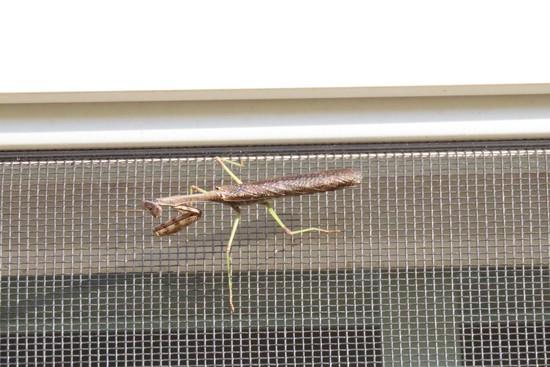 Praying Mantis on my window screen