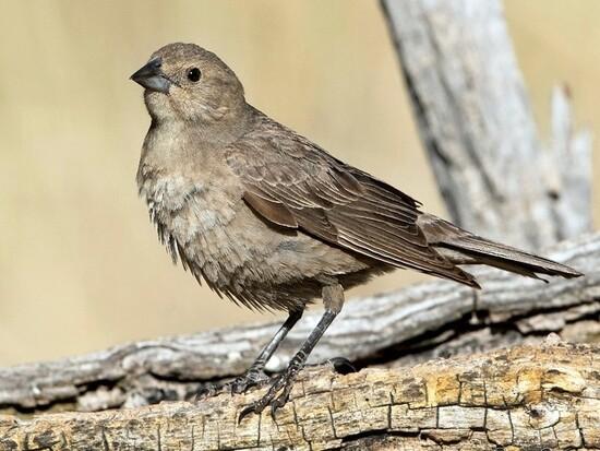 JuvBrown-headedCowbird-L1.jpg