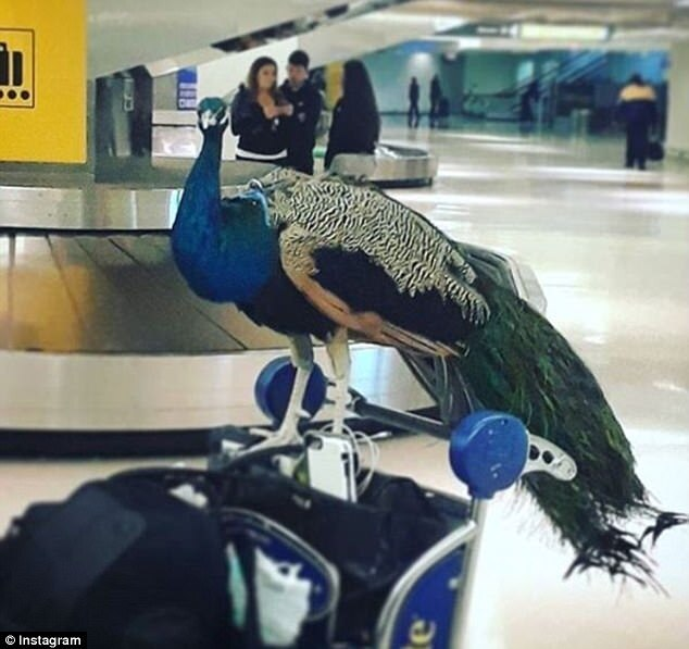 Trumps penultimate regulatory roll back: no more emotional support peacocks on planes