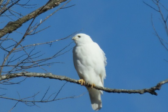 white raptor