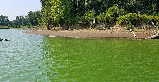 Pictured is a 2018 algal bloom in the Ross Island Lagoon of the Willamette River.