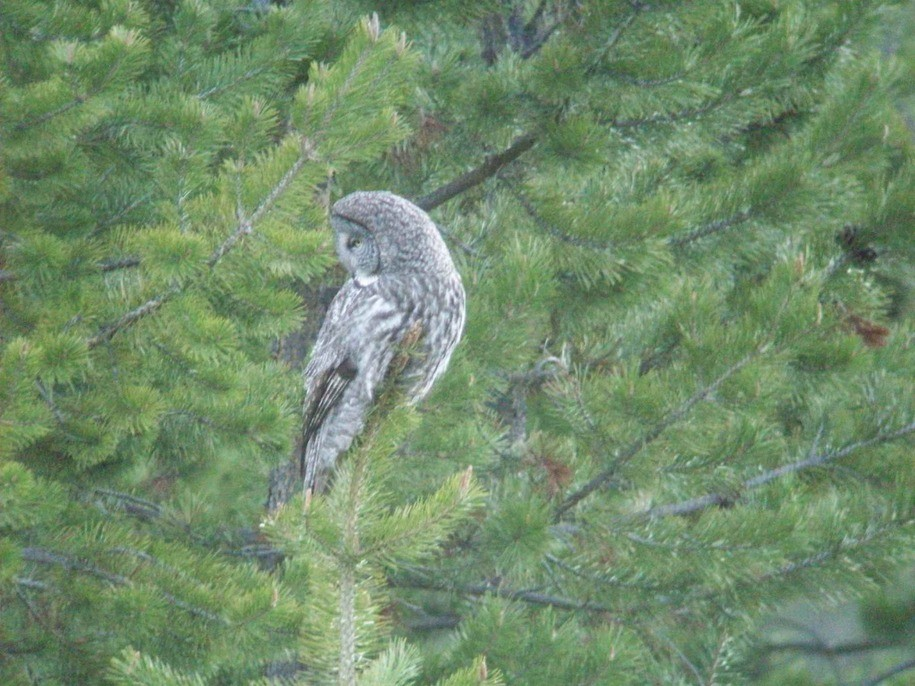Dawn Chorus: It's Superb Owl Sunday!!