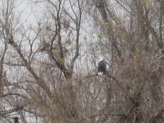 Bald Eagle in a tree along the north side of the Missouri  at River Mile 115
