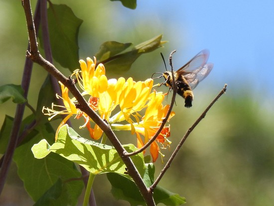 Snowberry Clearwing (Hemaris diffinis) on honeysuckle