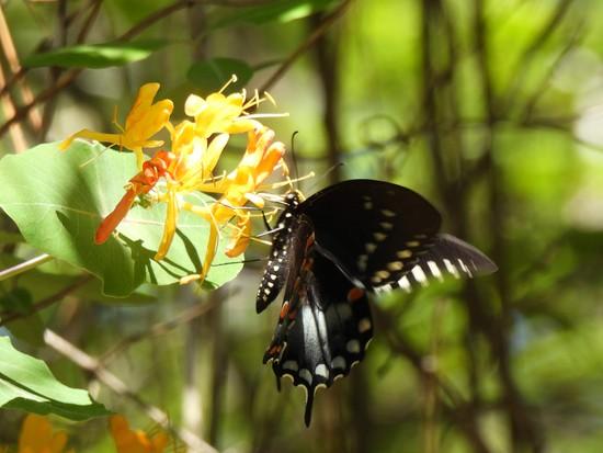 Female Eastern Tiger Swallowtail on honeysuckle