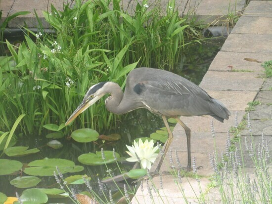 Great Blue Heron stands at the edge of a pool near a blooming lotus plant.